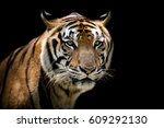 Portrait Of A Tiger Alert And...