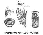 sage. vector hand drawn... | Shutterstock .eps vector #609299408