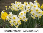 Pretty Daffodil Flowers Photo...