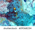 Clown Fishes In The Red Sea