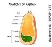 anatomy of a grain. cross... | Shutterstock .eps vector #609394196