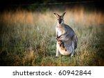 Australian Kangaroo With A Joey ...