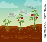 tomatoes growth and planting... | Shutterstock .eps vector #609478286