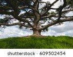Cedar Tree In Langhe Roero...