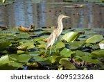 egret in the danube delta ... | Shutterstock . vector #609523268