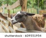 Cute Llama Animal