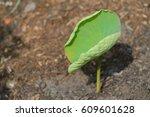 Lonely Lotus Leaf On Ground