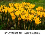 beautiful crocuses flowers in... | Shutterstock . vector #609632588