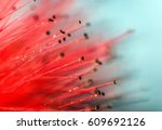 calliandra   acacia nemu flower ... | Shutterstock . vector #609692126