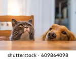british cat and golden retriever   Shutterstock . vector #609864098
