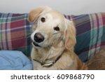 golden retriever dog | Shutterstock . vector #609868790