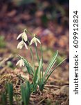 Small photo of Springtime. Snowdrops flowers. Beautifully blooming in the grass at sunset. Amaryllidaceae - Galanthus nivalis