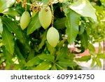 green mango on tree. a mango... | Shutterstock . vector #609914750