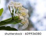 plumeria  | Shutterstock . vector #609936080