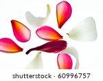 Stock photo frangipani plumeria flower 60996757