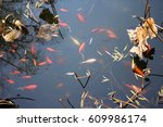 Red Carp Fish Are Chasing Food...