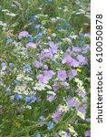 Small photo of Malva sylvestris Kaasjeskruid Cichorei Achillea millefolium