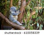 sleeping koala on eucalyptus... | Shutterstock . vector #610058339