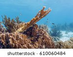 Small photo of Elkhorn coral, Acropora palmata is considered to be one of the most important reef-building corals in the Caribbean.