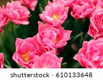 pink tulips blooming  in the... | Shutterstock . vector #610133648