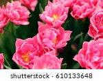pink tulips blooming  in the... | Shutterstock . vector #610133648