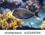 Small photo of Beautiful Blue Lined Surgeonfish, Acanthurus lineatus, inside Aquarium