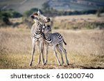 Young Zebra Play Fighting   A ...