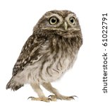 Little Owl  50 Days Old  Athen...
