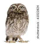 Stock photo little owl days old athene noctua standing in front of a white background 61022824