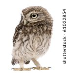 Stock photo little owl days old athene noctua standing in front of a white background 61022854