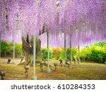 Purple Wisteria Blossom Tree A...