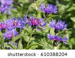 Perennial Cornflower Or...