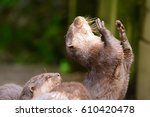 Portrait Of A Young Otter With...