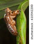 Small photo of Insect molting cicada metamorphosis (Latin Cicadidae) grow up to adult insect on tree in nature. (selective focus)