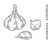 garlic drawing. isolated on... | Shutterstock .eps vector #610558316