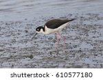 Black-necked stilt standing, seen in a North California marsh