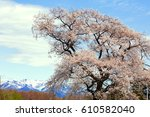 big one cherry tree and snowy... | Shutterstock . vector #610582040