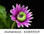 Green Caterpillar On Purple...