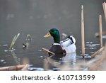 Duck   Mallard  Male   Mallard...