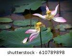 Faded Lotus Flowers  Nelumbo...