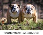 Two Female Bulldogs Outside In...