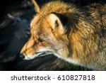 red fox   looking down and left. | Shutterstock . vector #610827818