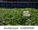 White Frangipane Flowers On Th...