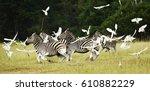 the plains zebra  equus quagga  ... | Shutterstock . vector #610882229