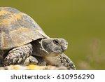 Greek Turtoise Portrait Or Spu...