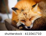 Cute Sleeping Red Fox In Winte...