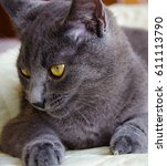 russian blue cat and sky... | Shutterstock . vector #611113790