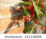 Pyracantha On Brick Wall With...