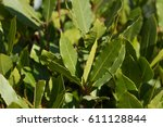 image of green bay tree leaves  ... | Shutterstock . vector #611128844