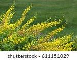 Yellow Baptisia  False Indigo...